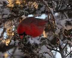 Looking for  Berry.... (l_dewitt) Tags: nature cardinal northeast birdwatching birdwatcher backyardwildlife northerncardinal naturephotos backyardbirds natureimages northamericanwildlife connecticutwildlife southeasternconnecticut newenglandwildlife nationalwildlifemagazinephotogrouppool earthnaturelife nikonimages