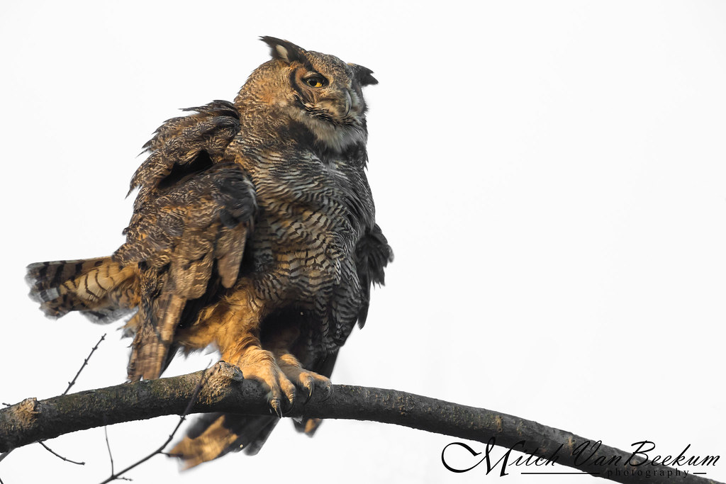 Shake It Off! (Great Horned Owl)