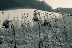 Sonnenblumen im Schnee