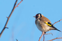 Goldfinch (Lluniau Clog) Tags: goldfinch southport merseyside marinedrive cardueliscarduelis europeangoldfinch marshside