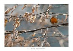 (~julien~) Tags: birds erithacusrubecula iledefrance oiseaux rougegorge 2016 7dmarkii julienbarbe 300mmlisf4canon julienbarbe