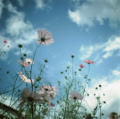 Cosmos II (Lore Stars) Tags: flowers blue sky naturaleza film nature clouds garden lomo lomography analgica vignetting cosmos dianamini corp99