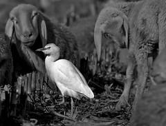 _IGP11141190 (ennioborgato) Tags: pentax pecore gregge aironeguardabuoi
