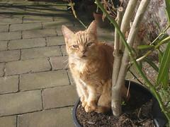 Ollie (Ingeborg off and on line . . .) Tags: red sun cat garden adorable ollie nils tuin zon poes oleander wandered sweetcat adorabel nederhorstdenberg gezworven thanksnils meinge