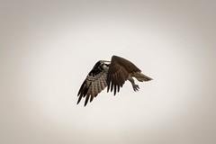 SanJoaquinWildlife-15 (rskim119) Tags: lake 3 bird nature water animal landscape flying pond nikon san wildlife 4 reserve joaquin marsh tamron preserve sanctuary irvine osprey shorebird 70300 irwd d3300