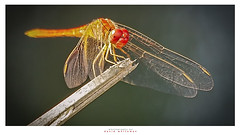 Red Dragonfly (Dave Whiteman - AU) Tags: bug closeup dragonfly insect macro reddragonfly whitewaterstadium nature