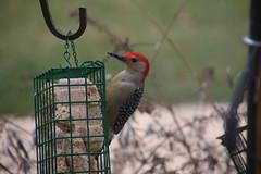 Red-Bellied Woodpecker (Saline, Michigan - January 30, 2016) (cseeman) Tags: birds woodpecker michigan redbelliedwoodpecker saline suet suetfeeder