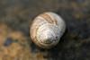 Sneglehus / Snail shell (braerik) Tags: brown macro rock stone shell brunt makro stein snailshell skall skjell sneglehus