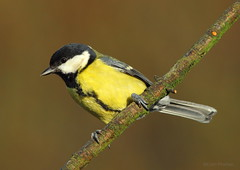 Great Tit (Parus major) (Colin Pinchen) Tags: england bird colin swindon aves wiltshire greattit parusmajor passeriformes barburycastle paridae pinchen