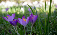 spring! (sue921) Tags: crocus
