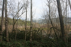 Through Alders (brian dean bollman) Tags: sonomacounty springlake springlakecountypark whitealder