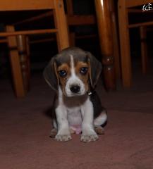 Max Serio. (Emilio A. Cerda Fierro) Tags: dog beagle animal puppy arte retrato perro mascota