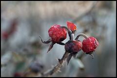 Withered in midwinter (hej_pk / Philip) Tags: winter red test 50mm vinter sony goerlitz german m42 ddr pentacon blommor gdr meyer kwangju gwangju optik roed sydkorea pentacon50mmf18 a5000
