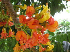 starr-120606-6865-Castanospermum_australe-flowers-Kahanu_Gardens_Hana-Maui (Starr Environmental) Tags: castanospermumaustrale