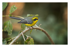 Yellow-bellied fantail (viwake) Tags: negi uttarakhand