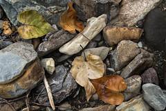 Logan Creek- Fall Leaves- I wore a scarf today. (GlacierNPS) Tags: fall autumn glaciernationalpark nps nationalparks montana