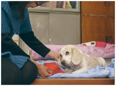 Mom gives Miru her red envelope (New Year's Money) (MissingBeagle) Tags: new red dog money beagle sony 28mm envelope years f2 fe ilce  a5100