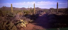 Holga 120 Pan, Fuji Provia 400X (K e v i n) Tags: arizona cactus panorama dog film nature analog cacti mediumformat outside holga desert az panoramic scan trail xavi sonorandesert 120mm saguaros fujiprovia400x blackcanyontrail epsonv500 blackcanyonnationalrecreationtrail holga120pan