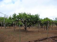 starr-090519-7965-Diospyros_kaki-fruit_trees-Kula-Maui (Starr Environmental) Tags: diospyroskaki