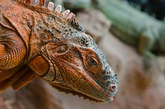 #PicOfTheDay Iguana (Candidman) Tags: eyes skin lizard iguana scales