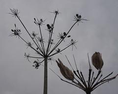 Fractal (Roger Bunting) Tags: worksop chesterfieldcanal umbelliferae apiaceae wildcarrot wildparsley