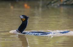 Double Crests forming: Double-crested Cormorant (Phalacrocorax auritus) (byjcb) Tags: california santacruz birds unitedstates cormorant