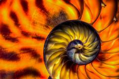 Davinci Golden (wrachele) Tags: ocean orange shells macro beach yellow nikon shell sealife 60mm nikkor nautilus d7100