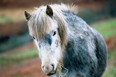 Horse at the end of the road - Kodak Ektar 100 (magnus.joensson) Tags: skye animal scotland nikon kodak outdoor fe nikkor isle nikonfe ais 200mm ektar hourse of