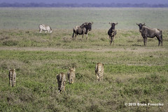 Cheetah Family Head Toward Wildebeests As They Watch (brucefinocchio) Tags: zebra cheetahs wildebeest ndutu ngorongoroconservationarea cheetahfamily cheetahfamilyheadtowardwildebeestsastheywatch nudtuplains