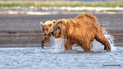 Watch how ma does it... (JA Photography - Be There, Out There) Tags: usa alaska sow bearcub grizzlybear katmainationalpark slamonkatmainationalpark