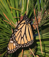 Monarch on the pine (v4vodka) Tags: butterfly insect monarch milkweed wanderer monarchbutterfly motylek motyl commontiger blackveinedbrown danaidusplexippus