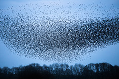 starling murmuration Anglesey (gillydog1) Tags: starlings murmuration 2016 canon6d