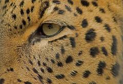 Allwetterzoo Mnster (Gnter Hentschel) Tags: germany deutschland zoo tiere nikon europa tiger leopard alemania rasputin allemagne mnster esel germania tier schlange zhne bren lwe allwetterzoo elefanten nikond3200 ftterung allwetterzoomnster d40 d3200 nikond40 fleischfresser