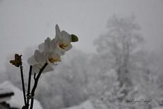 contrasti stagionali (La_ura_) Tags: winter white snow macro nikon calm snowing letitsnow orchidea contrasto fiocchi d90 soffice