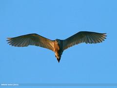 Indian Pond Heron (Ardeola grayii) (gilgit2) Tags: avifauna birds canon canoneos70d category fauna feathers geotagged imranshah indianpondheronardeolagrayii islamabad location pakistan rawallake sigma sigma150500mmf563apodgoshsm species tags wildlife wings gilgit2 ardeolagrayii 04birds