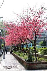 Xiushan Park in Zhonghe District, New Taipei City (Whitefox Chen) Tags: sun sunlight flower tree canon cherry taiwan sakura taipei    zhonghe  canon70300mm