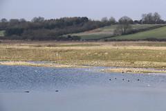North Cave Wetlands (nataliemarchant) Tags: birds duck gull yorkshire tufted coot tuftedduck eastyorkshire blackheaded yorkshirewildlifetrust northcavewetlands