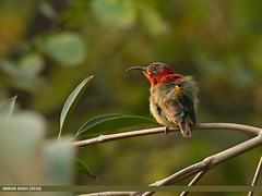 Crimson Sunbird (Aethopyga siparaja) (gilgit2) Tags: avifauna birds canon canoneos7dmarkii category crimsonsunbirdaethopygasiparaja fauna feathers g9 geotagged imranshah islamabad location pakistan species tags tamron tamronsp150600mmf563divcusd wildlife wings gilgit2 aethopygasiparaja 05birds