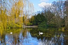 Swans on a lake (Sabrina O Brien) Tags: trees ireland lake water swans carlow altamonthouseandgardens