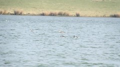 Grebes (Slavonian, Black-necked) (podiceps nigricollis and auritus) (mrm27) Tags: leicestershire rutland grebe rutlandwater podicepsnigricollis blackneckedgrebe podiceps podicepsauritus slavoniangrebe