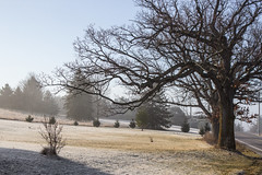 Oak Trees and the Pines, March Morning (marylea) Tags: morning tree rural landscape oak frost explore oaktree pinetrees oaktrees 2016 explored mar12