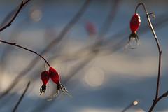 briar (Sergey S Ponomarev - very busy) Tags: winter light macro primavera nature closeup canon eos spring berry europe dof russia bokeh north straw natura inverno luce briar nord russie f40 kirov  russland      vyatka   70d    sergeyponomarev ef24105f40l viatka   wjatka