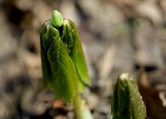 mayapple (laurie_frisch) Tags: plant spring bud emerging budding mayapple