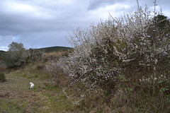 Prunus spinosa (esta_ahi) Tags: barcelona espaa flores spain flora flor silvestre prunus prunusspinosa rosaceae arbusto spinosa peneds bellestar endrino floracin  santamargaridaielsmonjos elsmonjos aranyoner