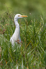 Intermediate Egret (Yellow-billed Egret) (Hector16) Tags: africa hot ngc safari uganda kampala lakevictoria dryseason entebbe republicofuganda mbambamarshes