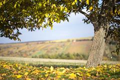 Fall (Katka S.) Tags: autumn colour tree fall nature leaves yellow pod republic dof czech wine framed frame shallow wineyard moravia morava blatnice svatm antonnkem