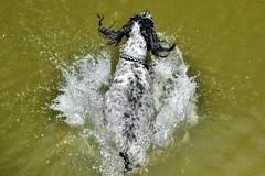 ~~Les premiers plongeons sont jubilatoires!!!~~ (Jolisa) Tags: dog chien plongeon fun eau saut jeu drle gouttelettes claboussure hlna avril2016