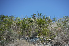Pelican Rookery on Rabbit Island 2 (hedonism1) Tags: hedonism bobmackie hedonism1 lauriemackie