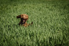 I'm Happy (aj_nicolson) Tags: dog smile animal happy funny sunny muppet cockerpoo appicoftheweek