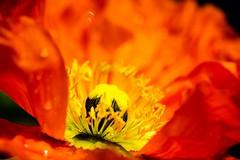 Anemone, 1 (Patrick.Raymond (2M views)) Tags: macro fleur nikon anemone concordians nikonflickraward